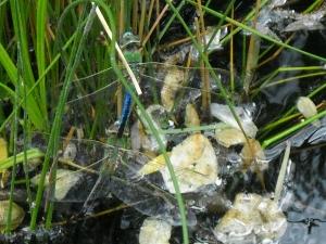 dragonflies 6.1.12