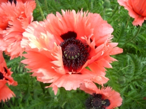 poppies, Denver Botanic Gardens