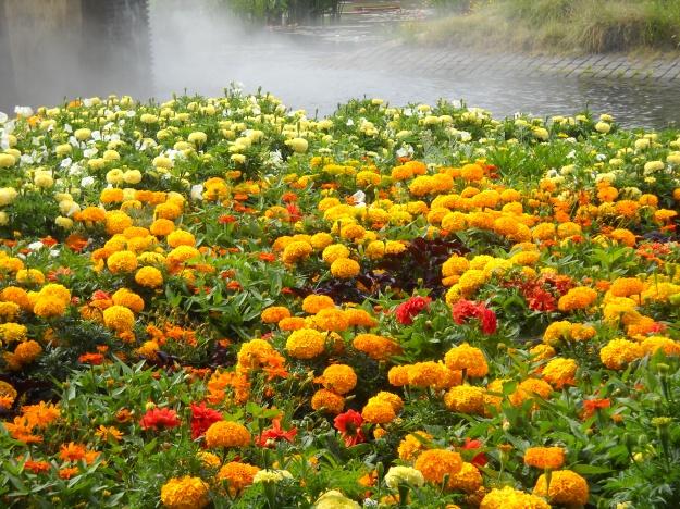 marigolds, Denver Botanic Gardens