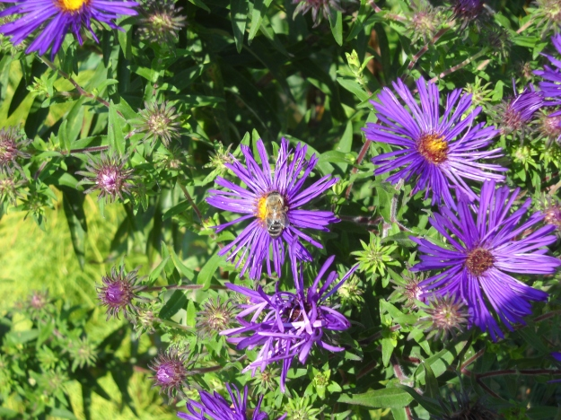 asters with bee