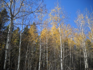 aspens, Golden Gate Canyon