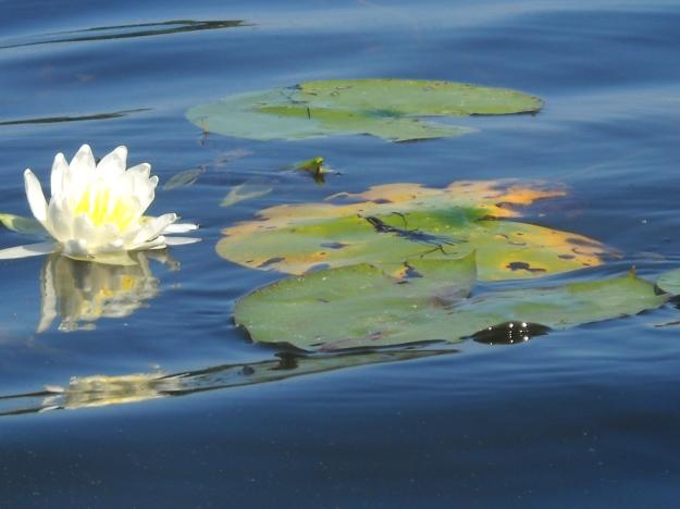 water lily, Scenic Lake, Michigan
