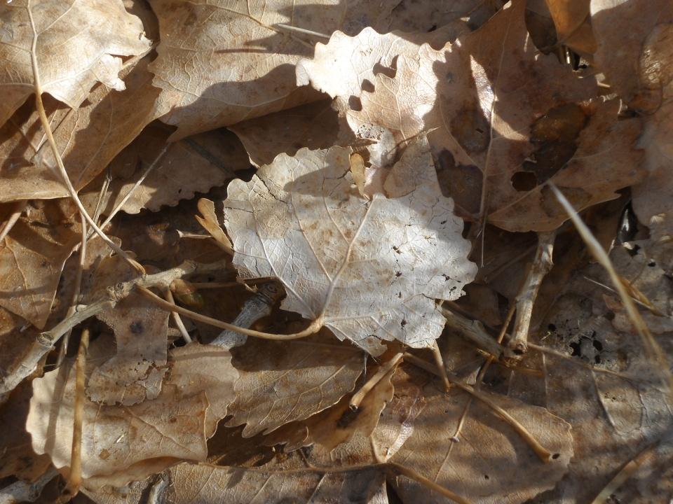 Cottonwood leaves