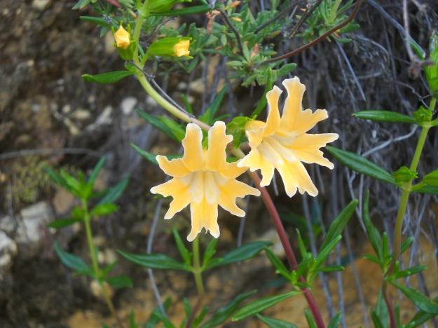 Flowers, Arroyo Seco, Ventana Wilderness