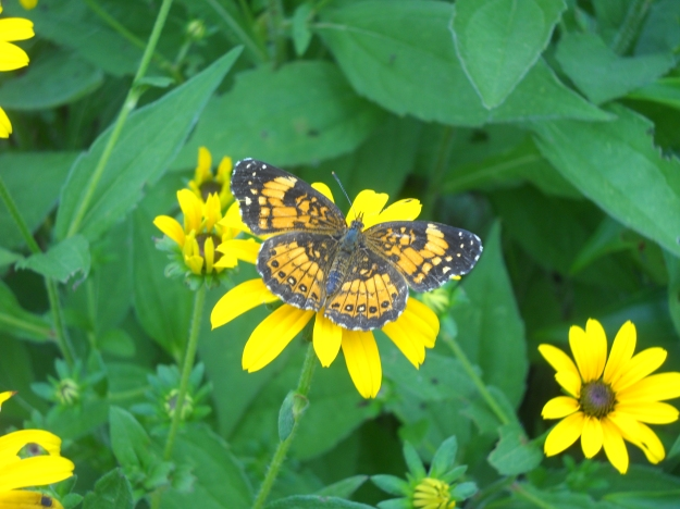 butterfly and black-eyed Susan