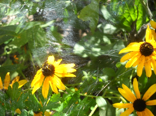 black-eyed Susans and spider web