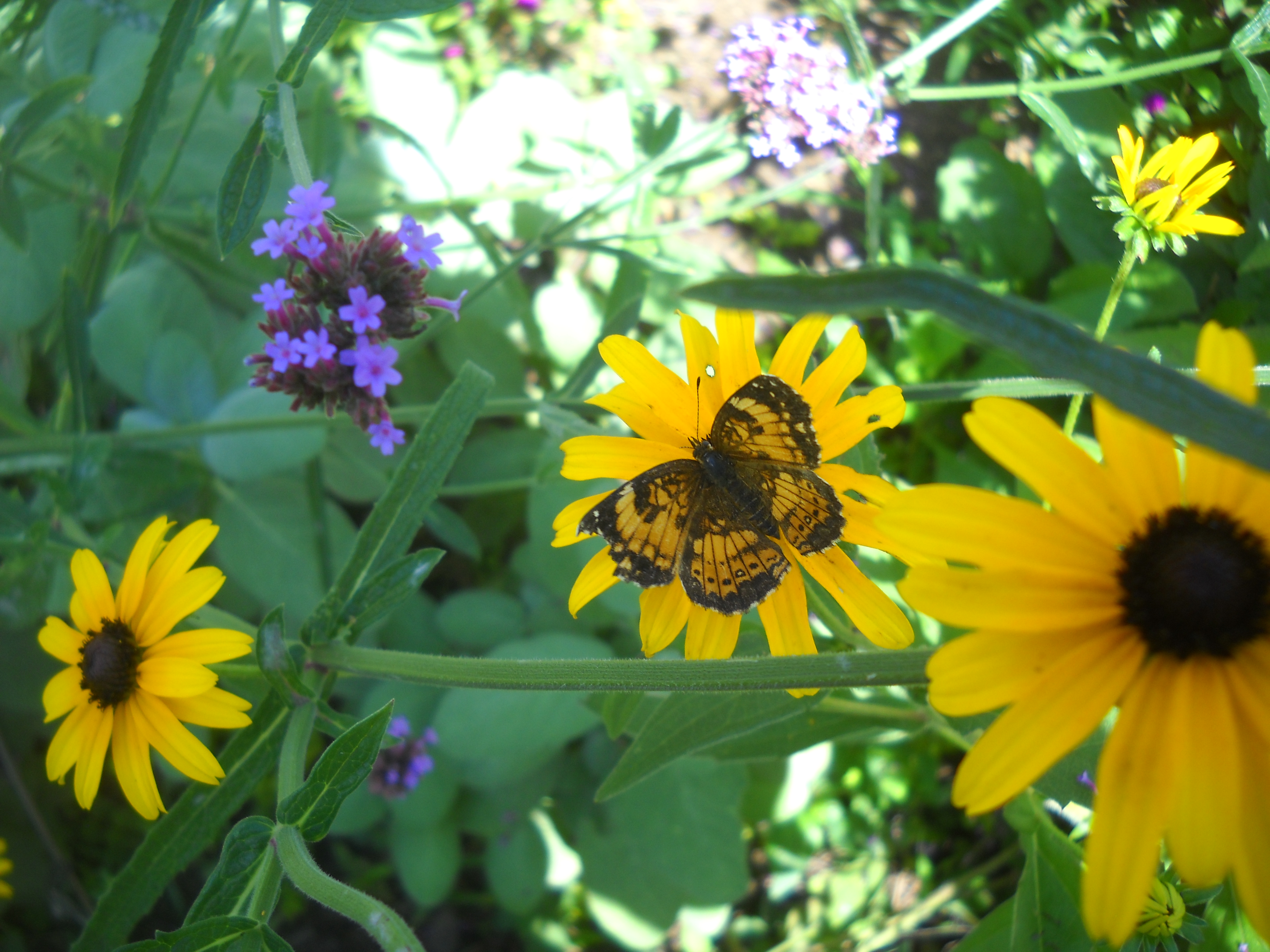butterfly with black-eyed and verbena bonariensis