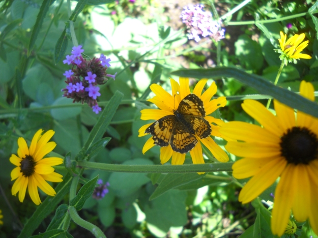 butterfly with black-eyed Susans and verbena bonariensis