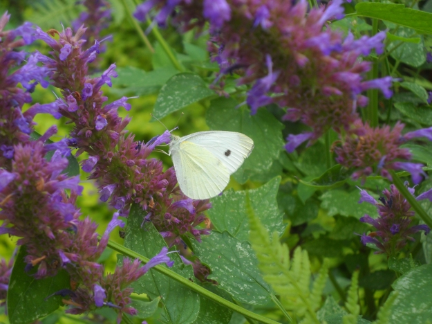 cabbage white on agastache