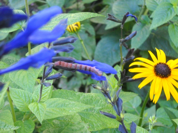 caterpillar on black and blue salvia with black-eyed Susan