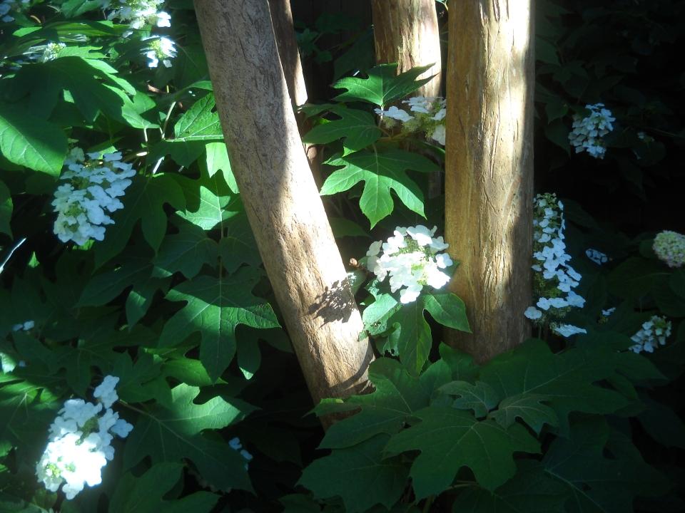 crape myrtle and oakleaf hydrangea