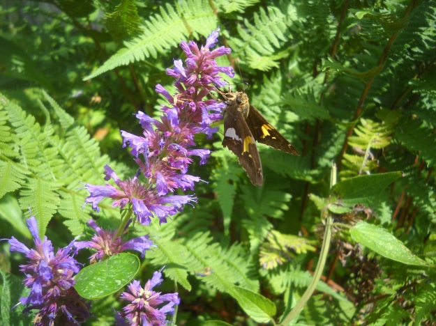 silver-spotted skipper on agastache