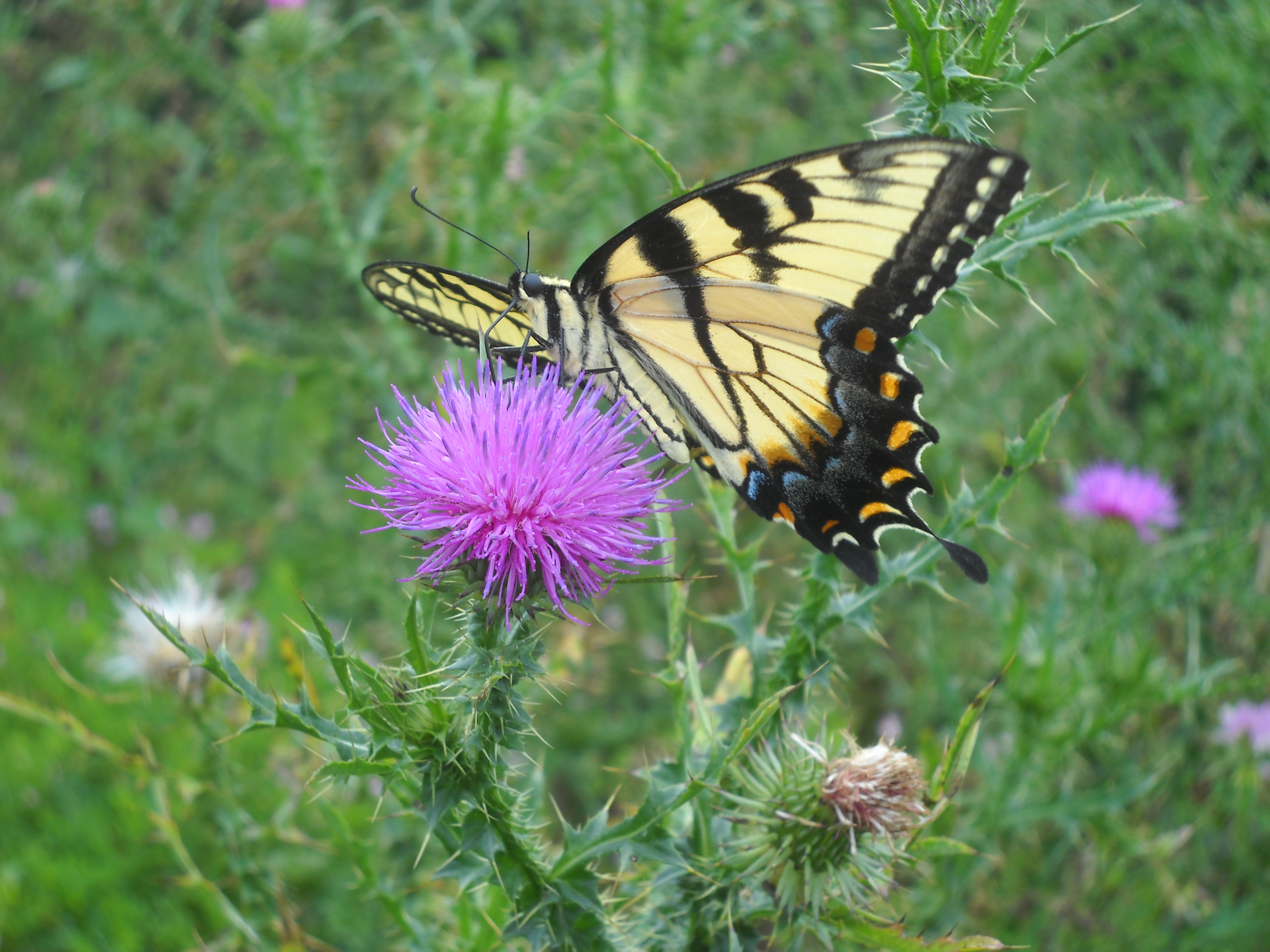 Black and blue salvia close to the ground living inductively swallowtail butterfly and thistle dhlflorist Images