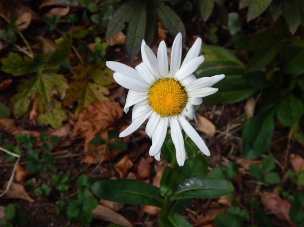 our last shasta daisy