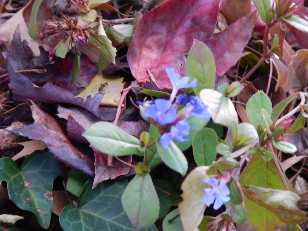 plumbago, ivy, and leaves