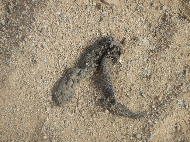 Scat, Saguaro National Park