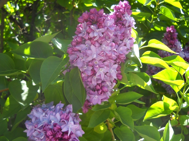 lilacs, Denver Botanic Gardens