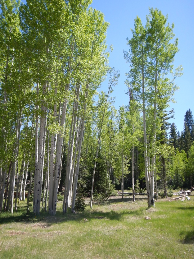 Aspens in the Kaibab National Forest copyright Lynda Terrill