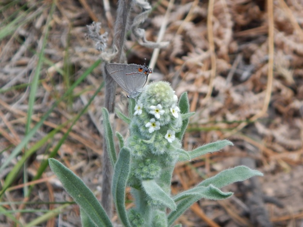 butterfly and flower on the Widforss Trail