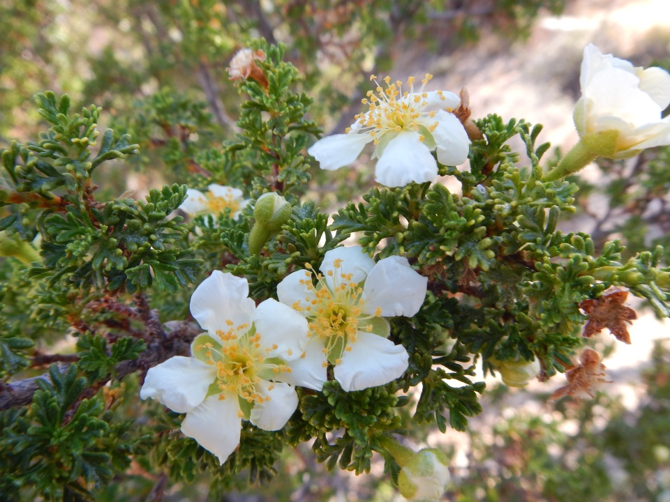 cliff rose, Cape Royal