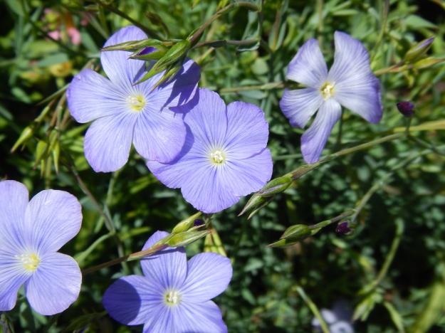 flax, Denver Botanic Gardens