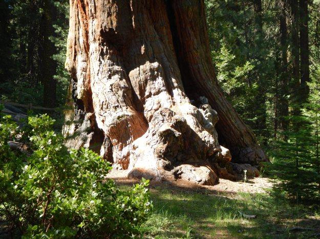 Sequoia feet