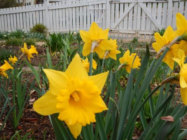 daffodils (Marieke)