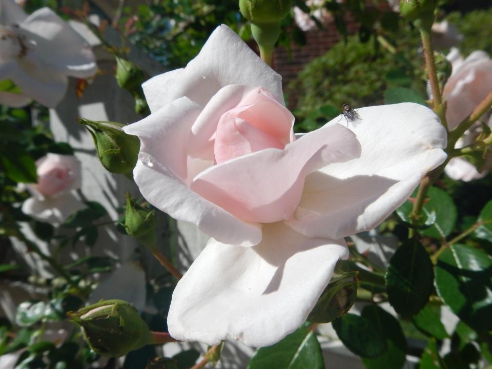 Tom's rose, Awakening