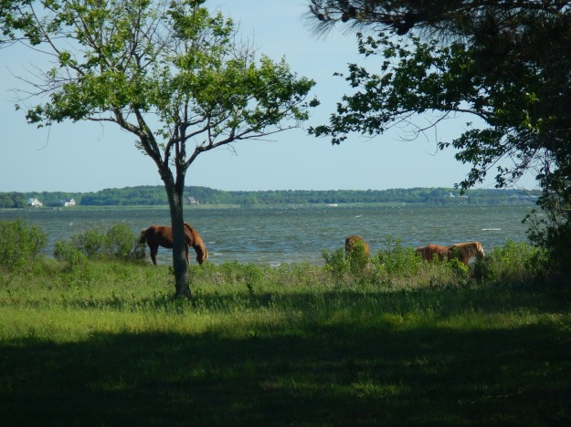 wild horses, Assateague National Seashore