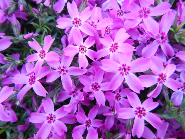 April: creeping phlox