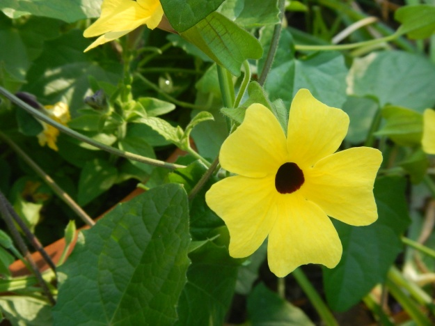 June: black-eyed Susan vine