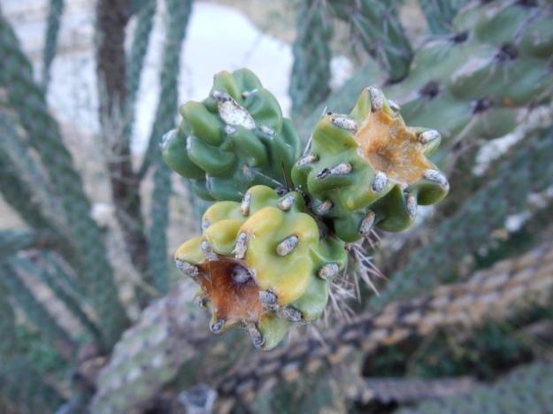 cholla (Cylindropuntia imbricata?