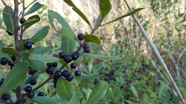 inkberry (Ilex glabra)