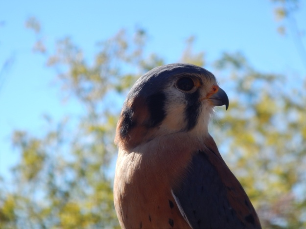 American kestrel (Falco sparverius), Arizona-Sonora Desert Museum