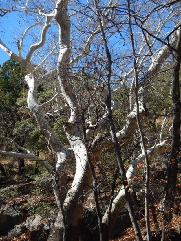 Arizona sycamore (Platanus wrightii), Ramsey Canyon Preserve
