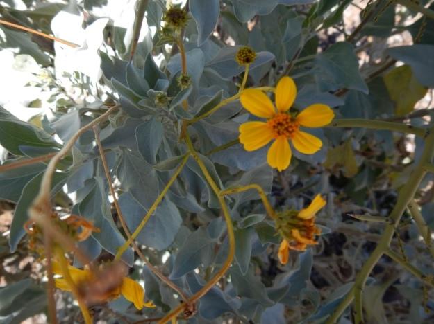 brittlebush (Encelia farinosa), Arizona-Sonora Desert Museum