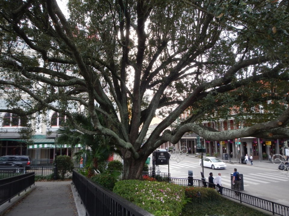 live oak (Quercus virginia)
