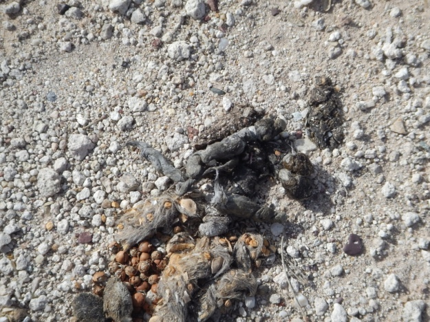 scat, Murray Springs Clovis Site, Arizona