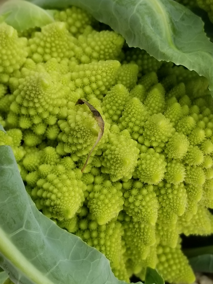 Romanesco broccoli at the Rosslyn Farmers Market