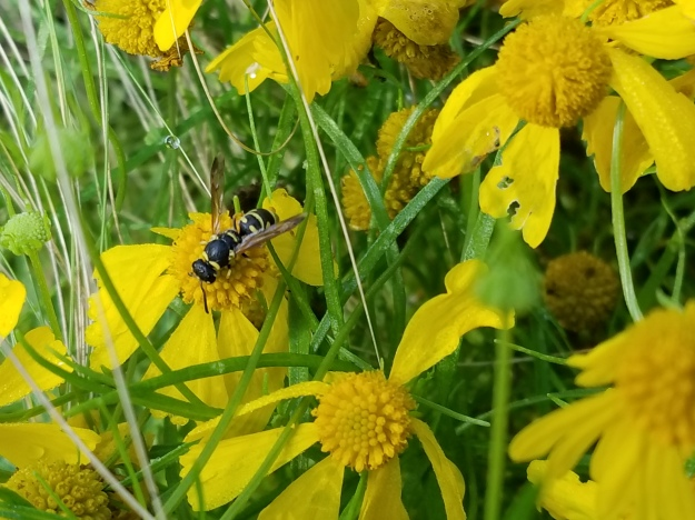 wasp (I don't know what variety)