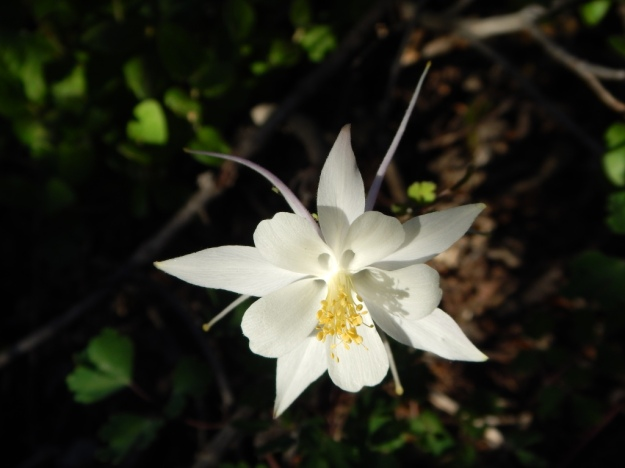 columbine, Cedar Canyon Campground, Dixie National Forest