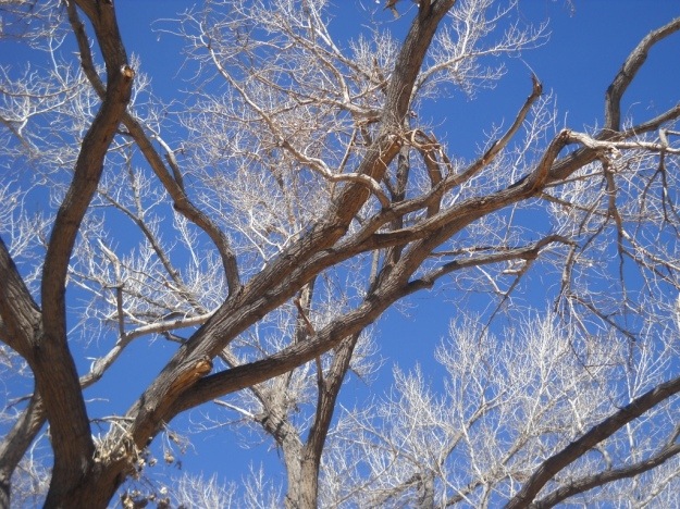 cottonwood near Canyonlands National Park