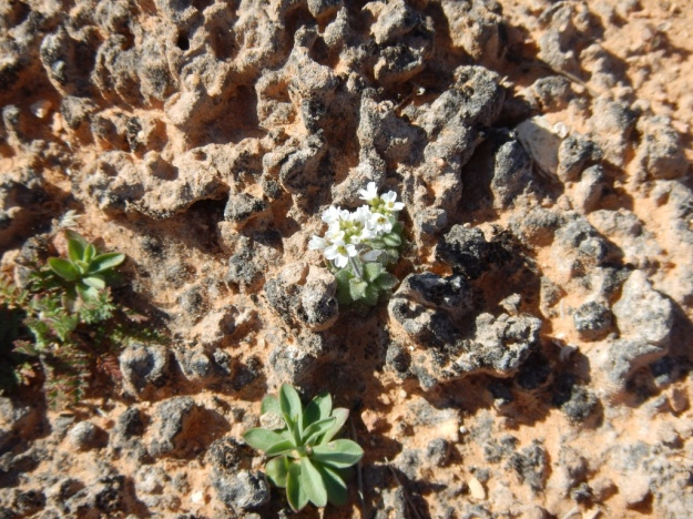 cyanobacteria with flowers, Canyonlands National Park