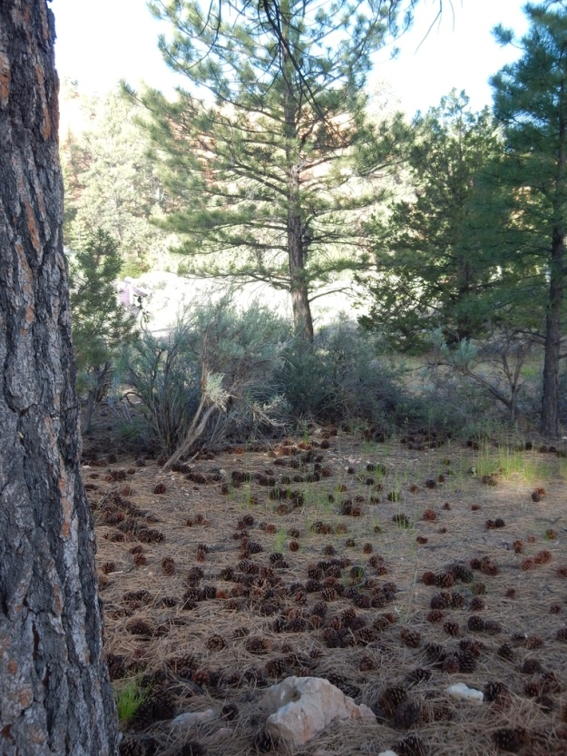 pine cones, Red Canyon, Dixie National Forest