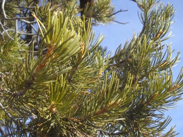 pinyon pine, Canyonlands National Park