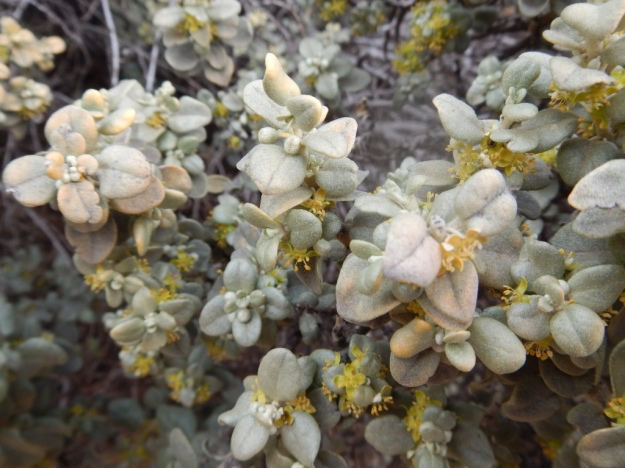 roundleaf buffaloberry, Natural Bridges National Monument