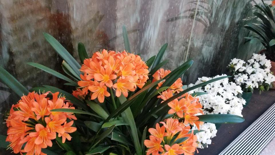 clivia, National Gallery
