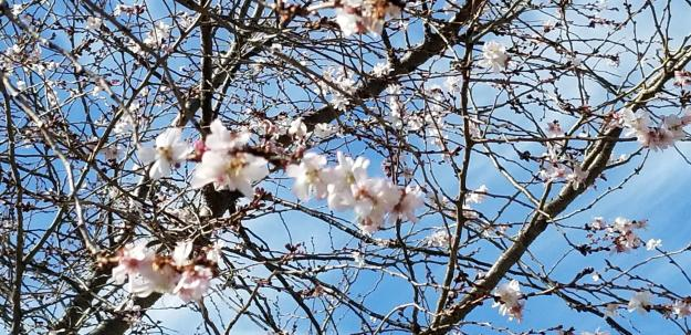 early cherry blossoms, Arlington National Cemetery