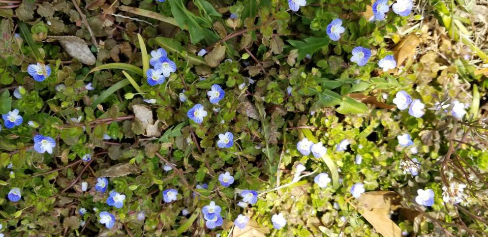 forget-me-nots (?) Rosslyn