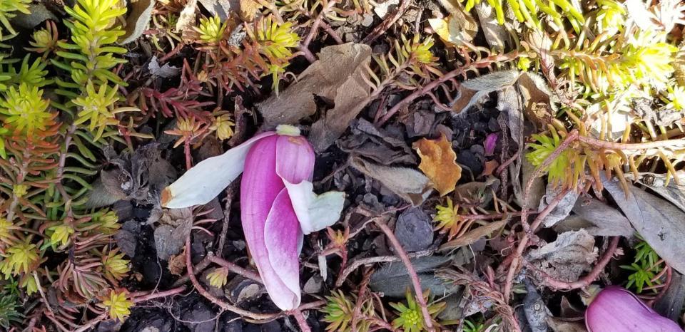 magnolia blossom and sedum